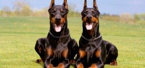 Gossos de la raça Doberman