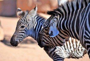 Bioparc naiximent zebra