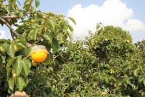 Trampa per a la mosca de la fruta