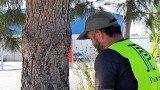 Alcudia tractament arbres urbans