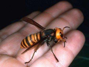 Exemplar de vespa asiàtica